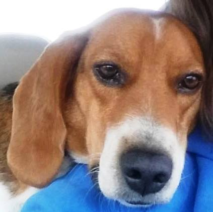 Rescue Of The Month Tall Tails Beagle Rescue By Susan Spisak